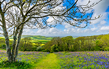 Tree, Field, Bluebells - Canticle of Brother Sun