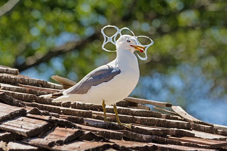 Seagull with plastic sealing its mouth - plastic pollution Lent 2018
